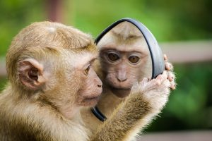 monkey holding mirror and seeing his own monkey face