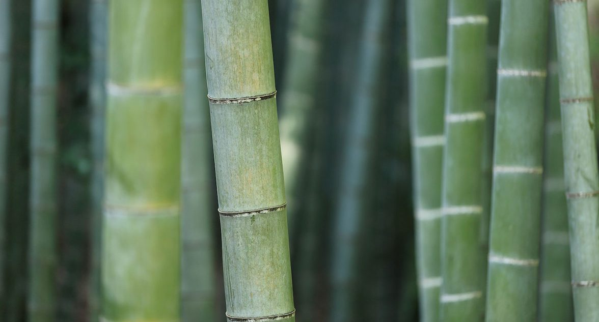 green bamboo closeup